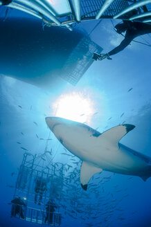 Mexico, Guadalupe, Pacific Ocean, scuba divers in shark cages photographing white shark, Carcharodon carcharias - FG000022