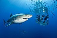 Mexico, Guadalupe, Pacific Ocean, scuba divers in shark cage with white shark, Carcharodon carcharias, in the foreground - FGF000025