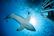Mexico, Guadalupe, Pacific Ocean, scuba diver in shark cage photographing white shark, Carcharodon carcharias - FGF000011