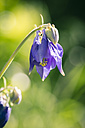 Germany, Bavaria, Common columbine, Aquilegia vulgaris, purple - SARF000646