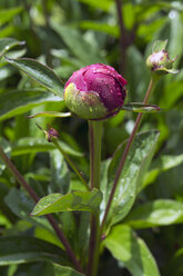 Dewdrops on bud of pink peony, Paeonia officinalis - WEF000114