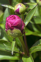 Dewdrops on bud of pink peony, Paeonia officinalis - WEF000115
