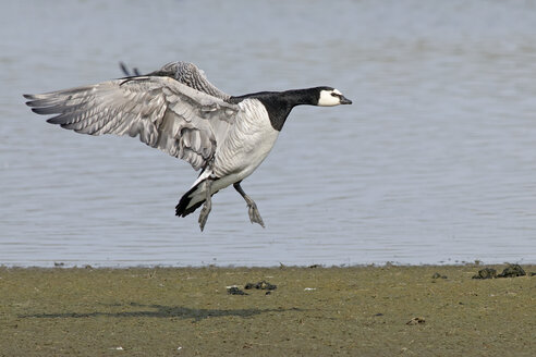 Germany, Schleswig-Holstein, North Frisia, flying barnacle goose, Branta leucopsis - HACF000128