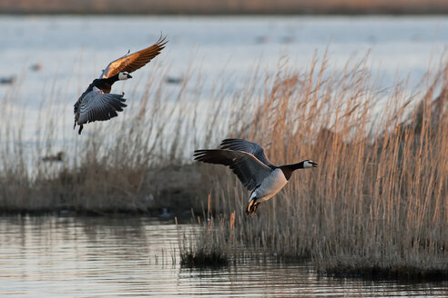 Germany, Schleswig-Holstein, North Frisia, two flying barnacle gooses, Branta leucopsis - HACF000133