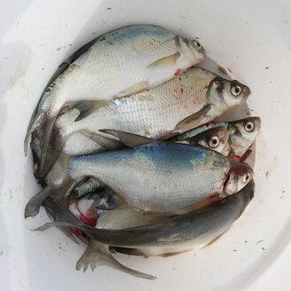 Hege-fish, bream - Abramis brama, Waldenburg Germany - ALF000162