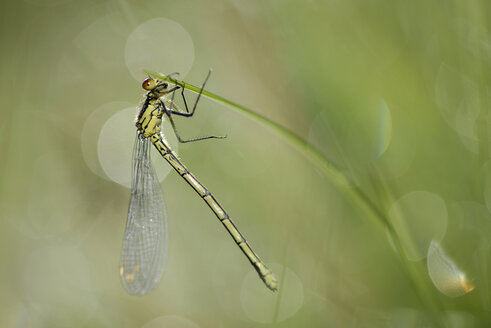 Red-eyed damselfly, Erythromma najas, hanging at blade of grass - MJOF000404