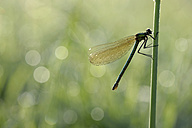 Banded demoiselle, Calopteryx splendens, hanging at blade of grass in front of green background - MJOF000407