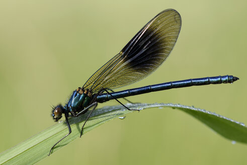 Banded demoiselle, Calopteryx splendens, sitting on grass in front of green background - MJOF000409