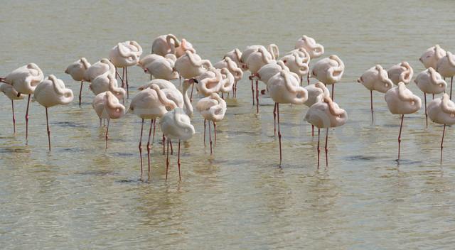 France, Provence Alpes Cote d'Azur, Camargue, sleeping flamingos, Phoenicopterus roseus - JBF000127 - Jan & Nadine Boerner/Westend61