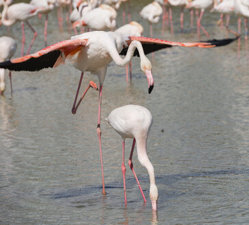 France, Provence Alpes Cote d'Azur, Camargue, mating flamingos, Phoenicopterus roseus - JBF000130