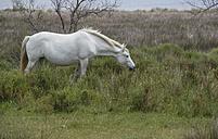 France, Provence Alpes Cote d'Azur, Camargue, Camargue horse eating grass - JBF000134