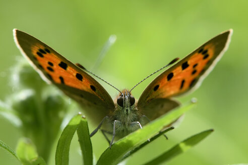 Small copper, Lycaena phlaeas, sitting on leaf - MJO000421