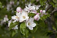 Germany, Baden-Wuerttemberg, White and pink blossoms of apple tree, Malus - WIF000744