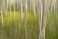 Australia, New South Wales, Pottsville, paper bark tea trees in movement - SHF001388