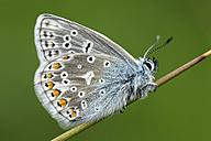 England, Common Blue, Polyommatus Icarus - MJOF000431