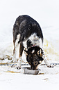Finland, Rovaniemi, eating husky in front of snow - SR000556