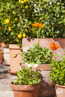 Citrus, poppies, Papaver, and common jasmine, Jasminum officinale, planted in clay pots standing in sunny garden - WDF002502