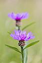 Two blossoms of violet cornflower, Centaurea cyanus - SRF000569