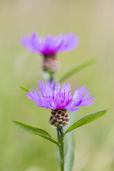 Two blossoms of violet cornflower, Centaurea cyanus - SRF000569