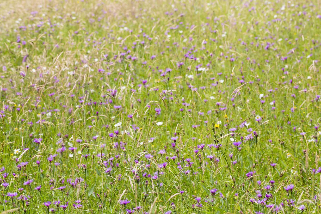Meadow of cornflower, Centaurea cyanus - SRF000571 - Stephan Rech/Westend61