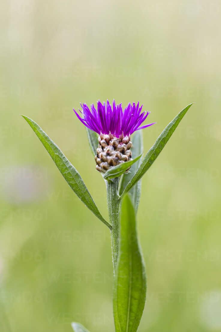 Bud of violet cornflower, Centaurea cyanus - SRF000573 - Stephan Rech/Westend61