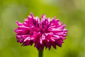 Blossom of pink cornflower, Centaurea cyanus, in front of green background - SRF000575