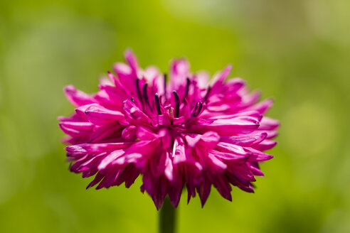 Blossom of pink cornflower, Centaurea cyanus, in front of green background - SRF000575