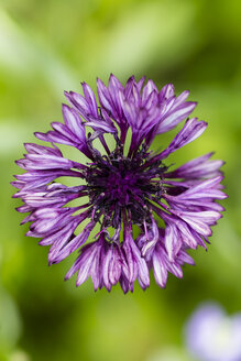 Blossom of violet cornflower, Centaurea cyanus, elevated view - SRF000577