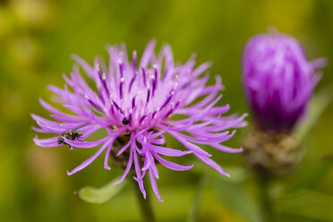 Two blossoms of violet cornflower, Centaurea cyanus, in front of green background - SRF000579