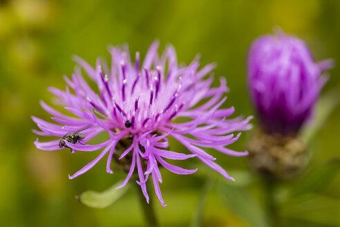 Two blossoms of violet cornflower, Centaurea cyanus, in front of green background - SRF000579