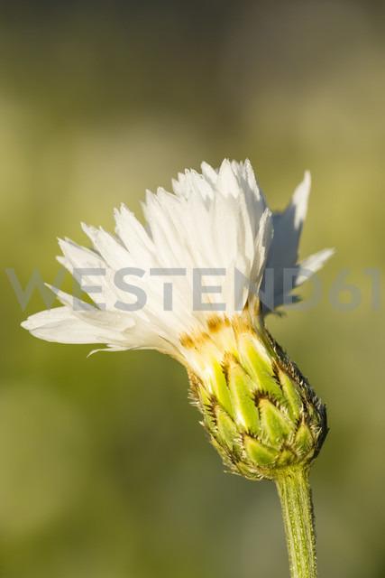Blossom of white cornflower, Centaurea cyanus, in front of green background - SRF000581