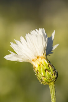 Blossom of white cornflower, Centaurea cyanus, in front of green background - SRF000581