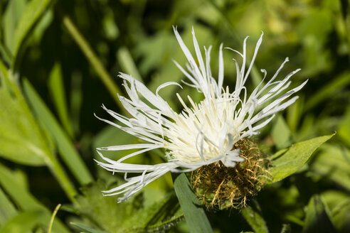 Bossom of white cornflower, Centaurea cyanus, in front of green background - SRF000583
