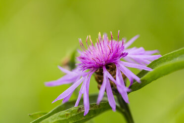 Blossom of violet cornflower, Centaurea cyanus, in front of green background - SRF000585