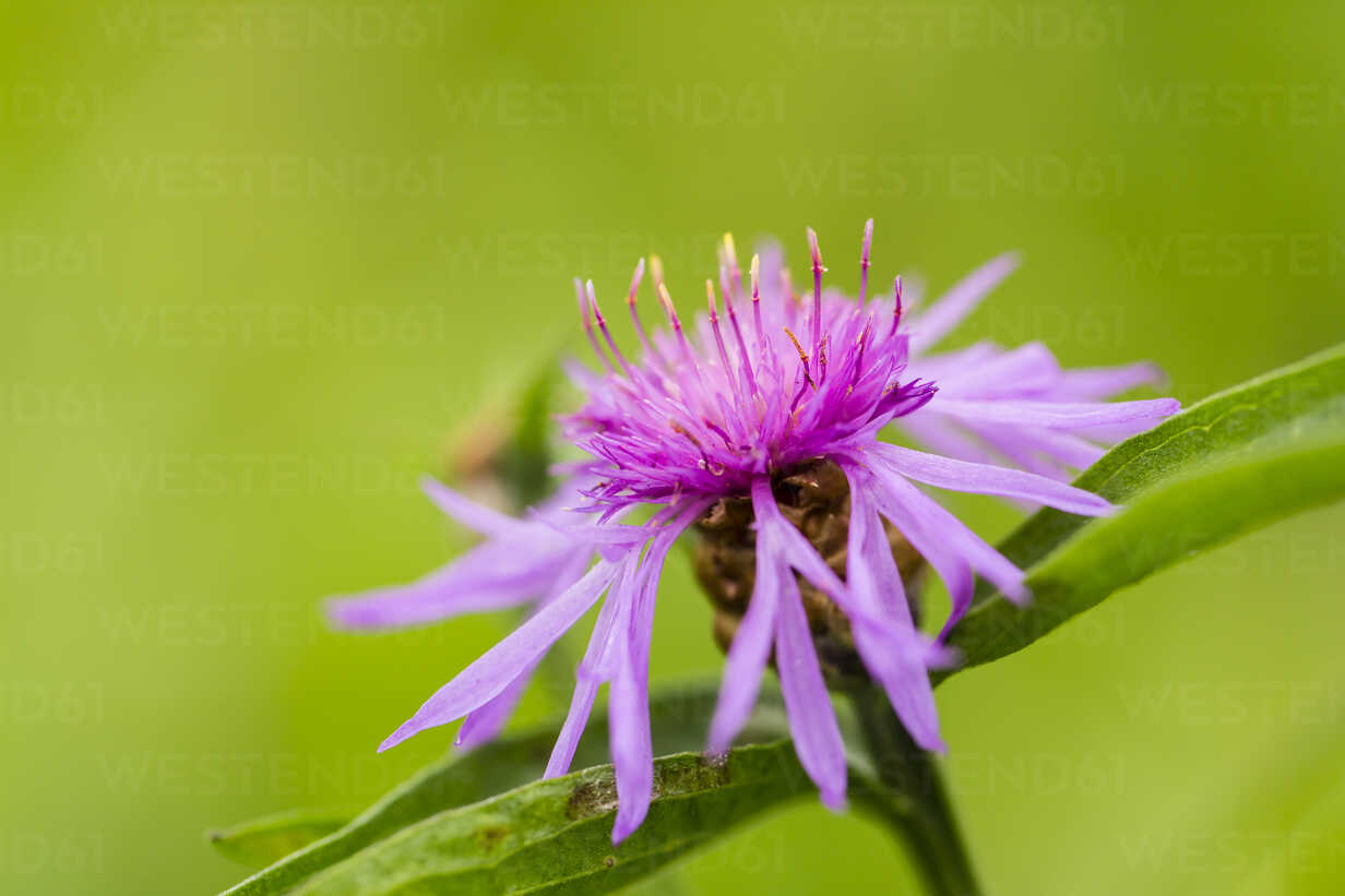 Blossom of violet cornflower, Centaurea cyanus, in front of green background - SRF000585 - Stephan Rech/Westend61