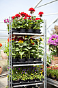 Offering in greenhouse - MAEF008442