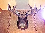 stuffed moose head, Maine, USA - BMA000007