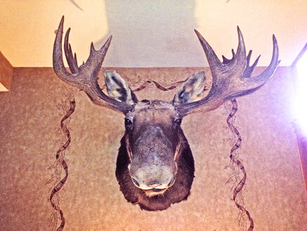stuffed moose head, Maine, USA - BMA000007