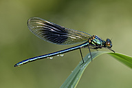 Banded demoiselle, Calopteryx splendens, sitting on blade of grass - MJOF000450