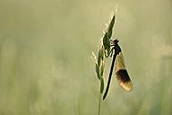 Banded demoiselle, Calopteryx splendens - MJOF000447