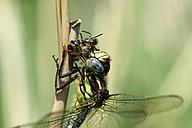 Spring hawker, Brachytron pratense, with prey, close-up - MJOF000444