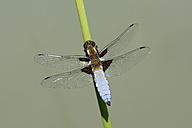 Broad-bodied chaser, Libellula depressa, on blade of grass - MJOF000437