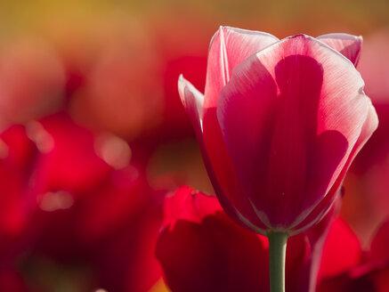 Red tulip - HHEF000103