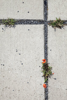 Concrete base plates with red poppies, Papaver, in the gaps - WI000762