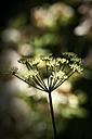 Germany, North Rhine-Westphalia, Ground Elder, Aegopodium podagraria - HOHF000846