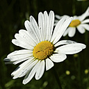 Germany, North Rhine-Westphalia, Marguerite with water drops, Leucanthemum - HOHF000850
