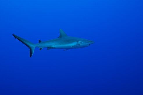 Oceania, Micronesia, Yap, Grey reef shark, Carcharhinus amblyrhynchos, in blue water - FGF000058