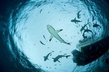 Oceania, Micronesia, Yap, Grey reef sharks, Carcharhinus amblyrhynchos, upward view with boat - FGF000091