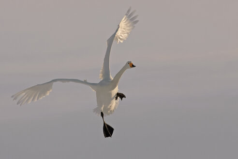 Germany, Schleswig-Holstein, Whooper swan, Cygnus cygnus, flying - HAC000137