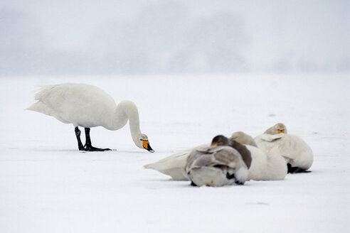 Germany, Schleswig-Holstein, Whooper swans, Cygnus cygnus - HAC000141